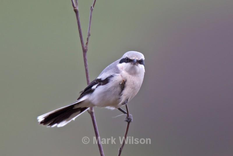 Great Grey Shrike - The rest.....