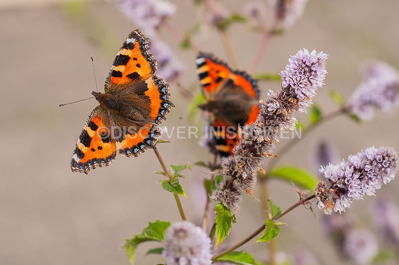 Small Tortoiseshell - Wildlife