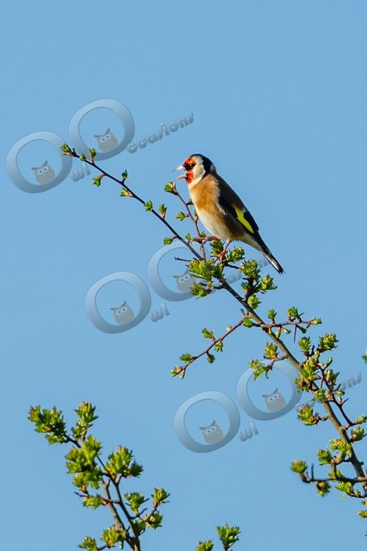 goldfinch Carduelis carduelis-8645 - UK birds