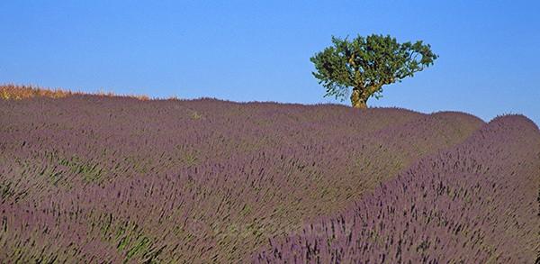 tree4 - Provence