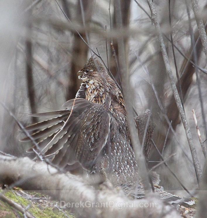Drummer in the Woods - Birds of Atlantic Canada