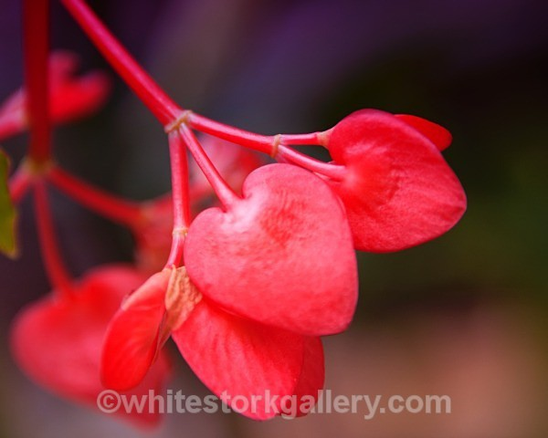 Begonia Corolina - Up Close !