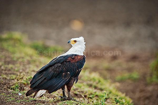 Fish Eagle, Nairobi National Park, Kenya