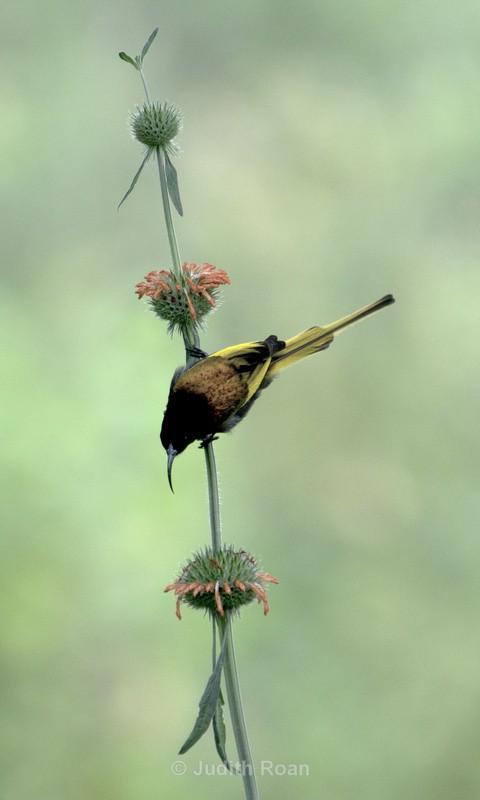 Golden-winged Sunbird - Tanzania Birds and Mammals