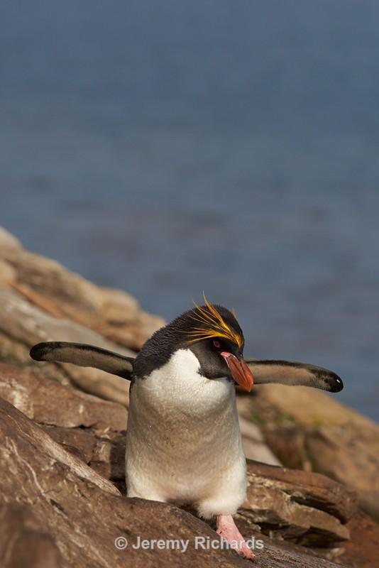 Macaroni Penguin - Saunders Island