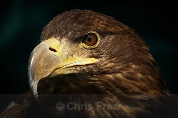 Frear-Sea-Eagle - For T&C