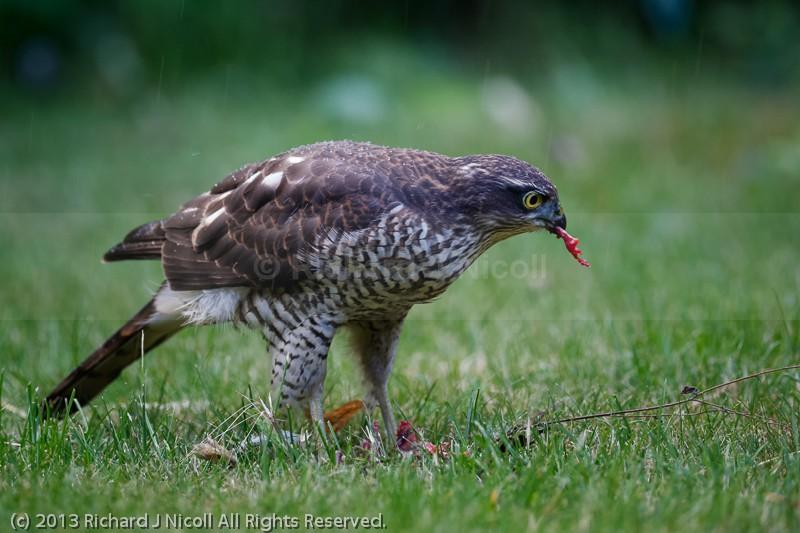Sparrowhawk (Accipiter nisus) juvenile with prey - Sparrowhawk (Accipiter nisus)