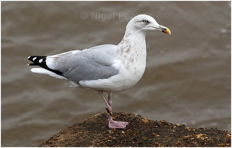 October 15th 2007 - Leggy the Herring Gull