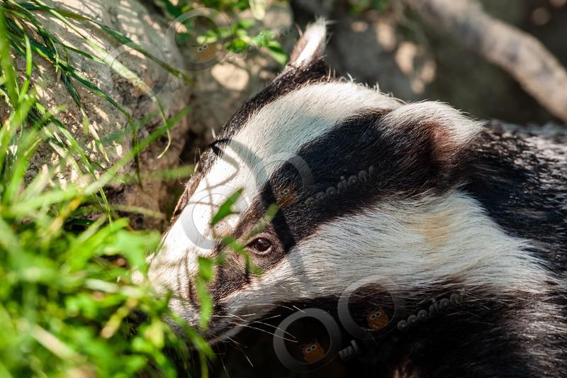 badger Meles meles-6547 - UK Wildlife