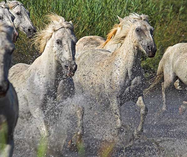 Carmargue Horses - The Camargue