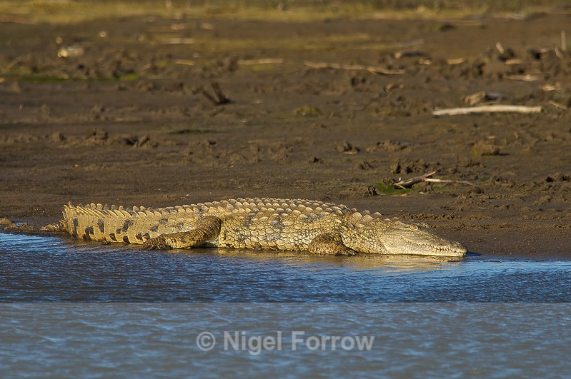 Nile Crocodile basking, South Africa - REPTILES & AMPHIBIANS