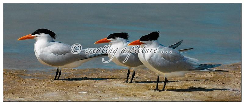 Three Royal Terns - Nature