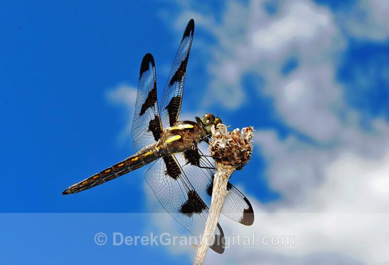 Twelve-spotted Skimmer male Libellula pulchella - Dragonflies of Atlantic Canada