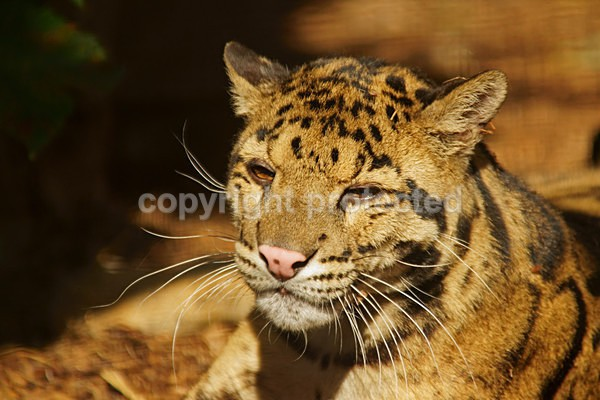 Clouded Leopard - Cat Survival Trust - Big and Small Wild Cats