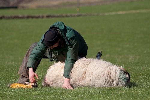 6 - The Lambing