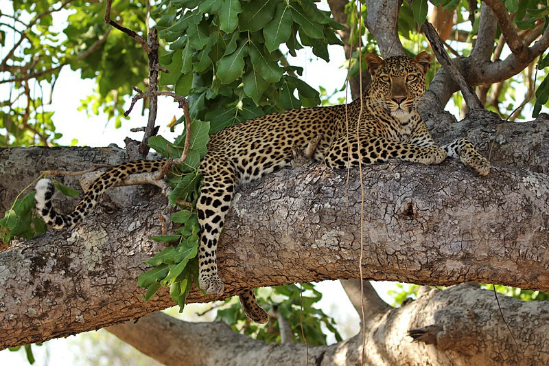 Leopard - Big cats