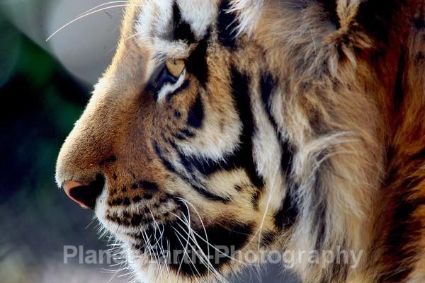 Sumatran Tiger 3 - Around The World