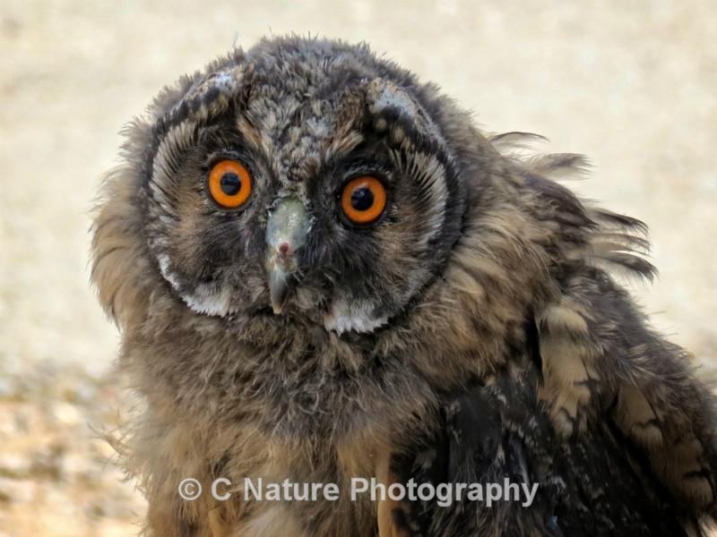 Juvenile Short-Eared Owl - Birds