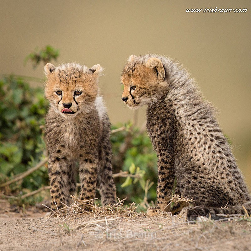 Baby Meeting II - Cheetah