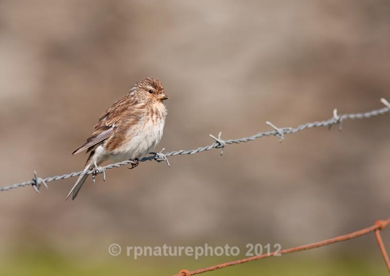Twite - Carduelis flavirostris RPNP0064 - Birds