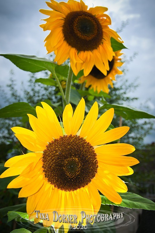 Sunflowers in a Garden  from Plant and Flower Portfolio by Tina Dorner Photography