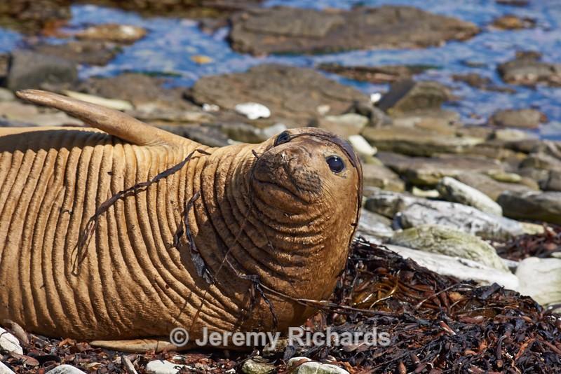 Female Elephant Seal - Carcass Island