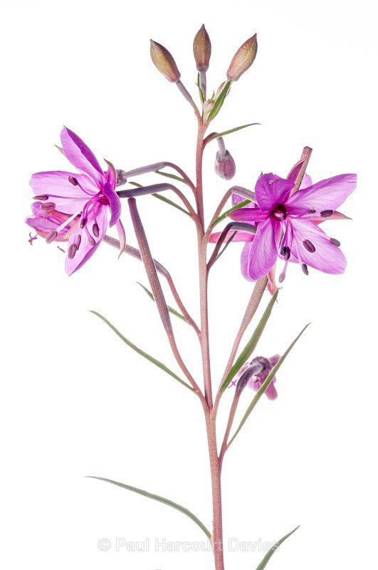 Dodonaeus' willow herb (Epilobium dodonae) - Plants - WB