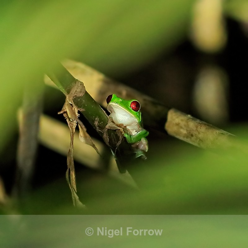 Red-eyed Tree Frog at night, Casa Corcovado, Costa Rica - REPTILES & AMPHIBIANS