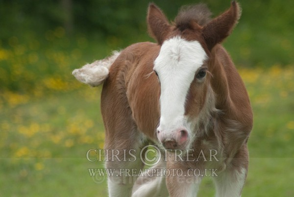 ryecroft-15 - Clydesdales 2013 Include Foals
