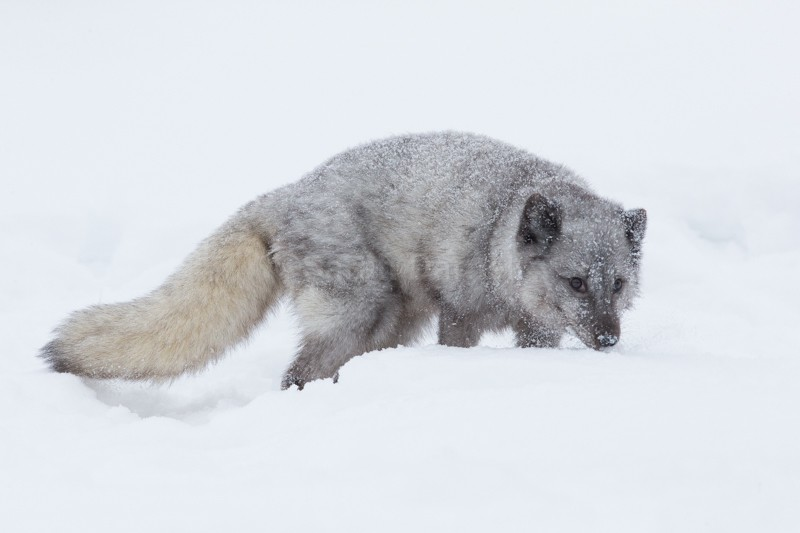 Arctic Fox - Montana: A Howling Good Time