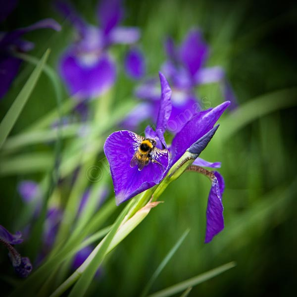 Bee on Iris - Plants and Flowers