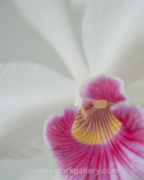 White Orchid - Up Close !