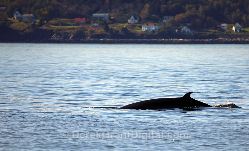 Rolling on - Bay of Fundy Whales