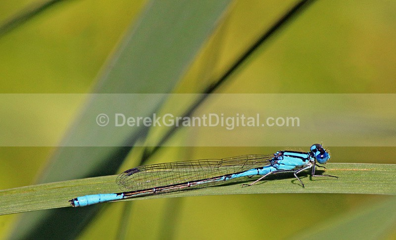 Azure Bluet (male) - Dragonflies of Atlantic Canada