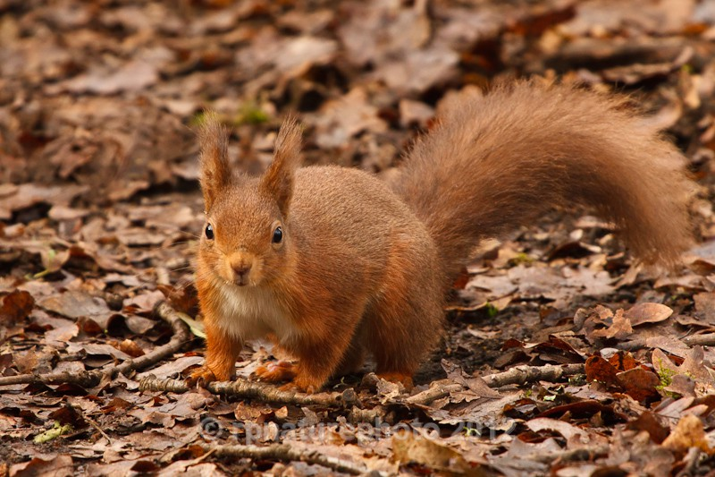Red Squirrel - Sciurus vulgaris RPNP0145 - Mammals