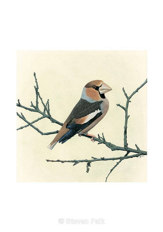 Hawfinch - Birds and Mammals
