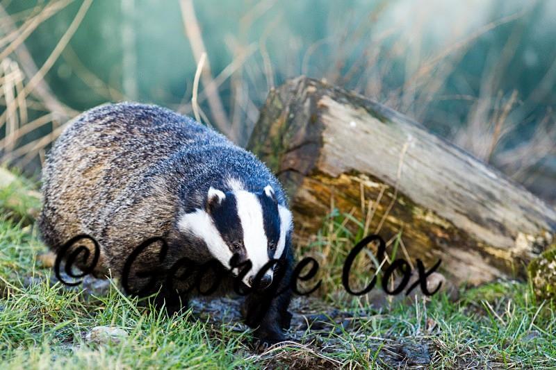 Badger - Mammals