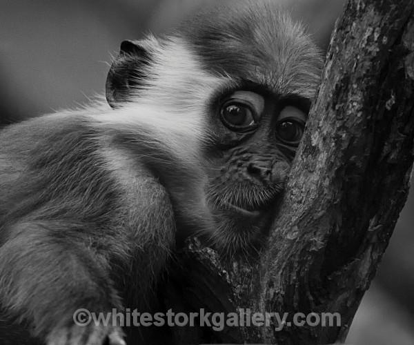 Collared Mangabey - Wildlife and Animals