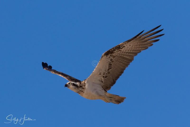 Osprey in Flight 8 - Osprey (For Sale)