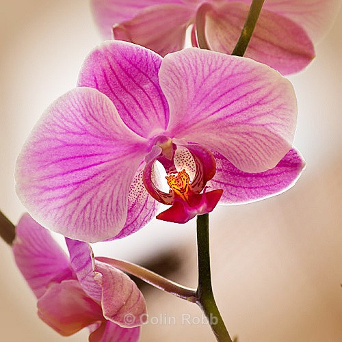 Orchid | wall art | photograph by Colin Robb