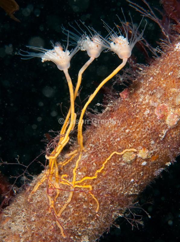 Ectopleura larynx - Sea Firs (Hydrozoa)