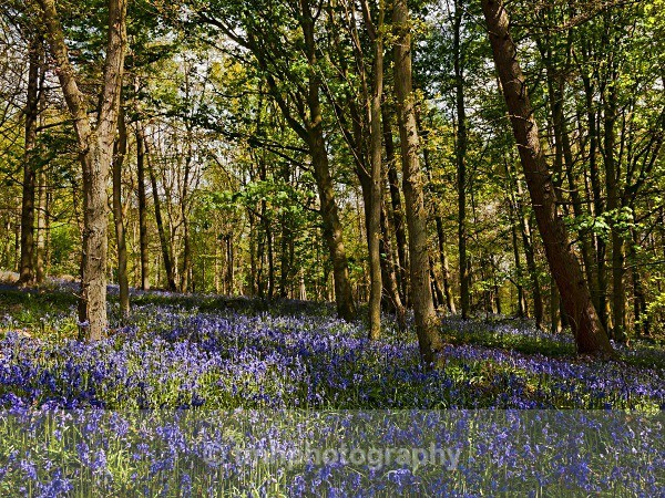 Blue Bells in Spring Woodland - Yorkshire Countryside