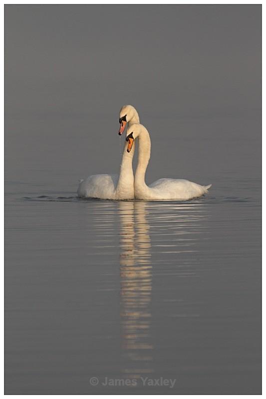 2 Mute Swan Courtship - The British Wildlife Photography Awards 2009 to 2014