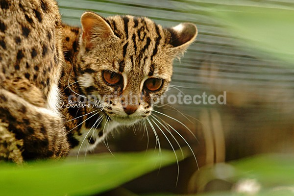 Leopard Cat - Cat Survival Trust - Big and Small Wild Cats