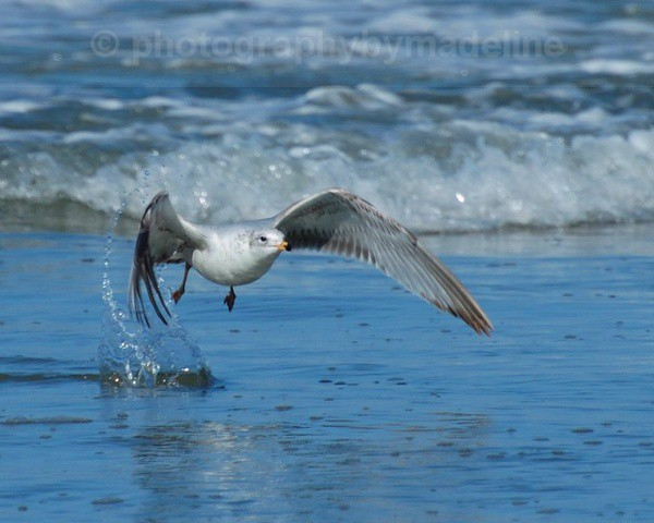Seagull Lopsided Take Off - Birds