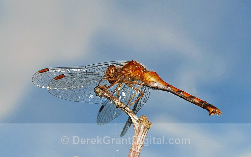 Autumn Meadowhawk (female) - Dragonflies of Atlantic Canada