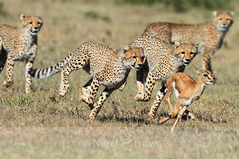 Cheetah cubs chasing a young Thompson's Gazelle - Cheetah