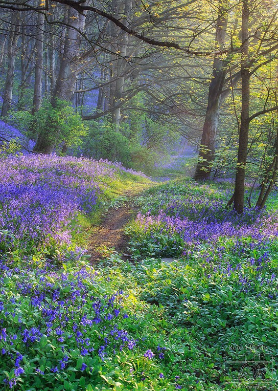 Bluebell Dawn - Calderdale Landscapes