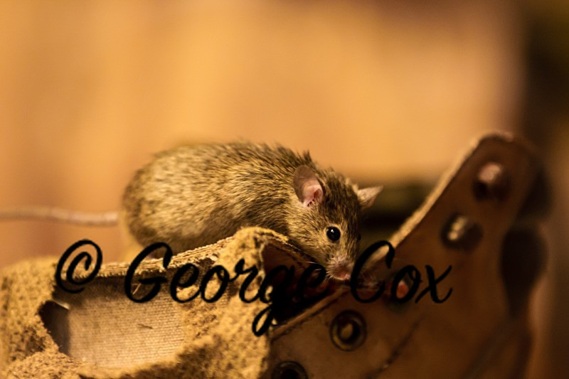 House Mouse - Mammals