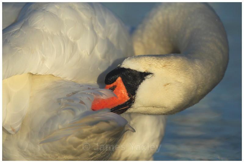 Preening Swan - River Scrape & Lake
